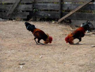 Tips Mengembangkan Teknik Bertarung Ayam Bangkok Laga