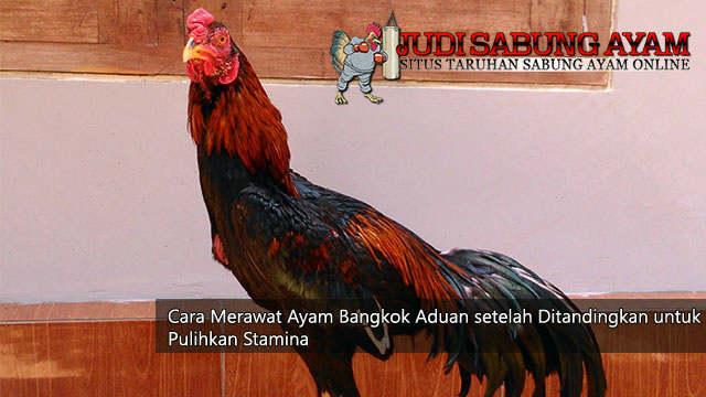 tips pemulihan stamina pada ayam bangkok setelah ditandingkan - sabung ayam online