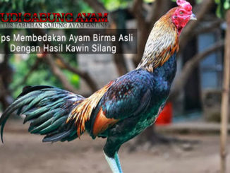 tips membedakan ayam birma asli - sabung ayam online