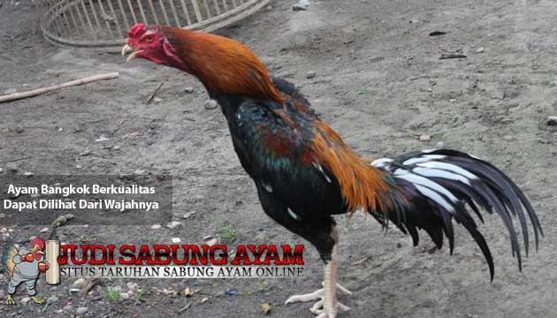ayam bangkok berkualitas dapat dilihat dari wajahnya - sabung ayam online