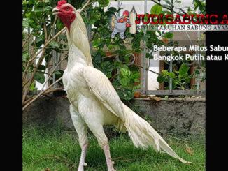 beberapa mitos sabung ayam bangkok putih - sabung ayam online