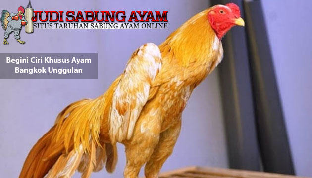 ciri khusus ayam bangkok unggulan - sabung ayam online