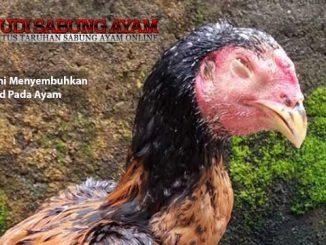 cara alami menyembuhkan snod pada ayam - sabung ayam online