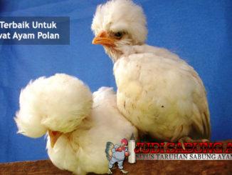 cara terbaik untuk merawat ayam polan - sabung ayam online