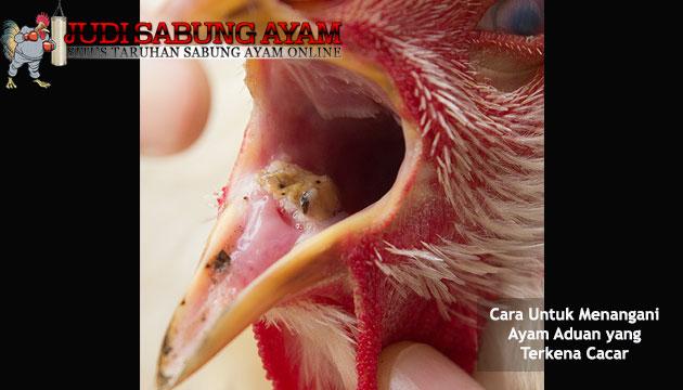 cara untuk menangani ayam aduan yang terkena cacar - sabung ayam online