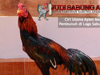 ciri utama ayam bangkok pembunuh - sabung ayam online