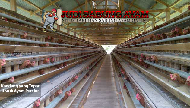 kandang yang tepat untuk ayam petelur - sabung ayam online