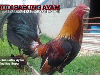 latihan khusus untuk ayam aduan kualitas super - sabung ayam online