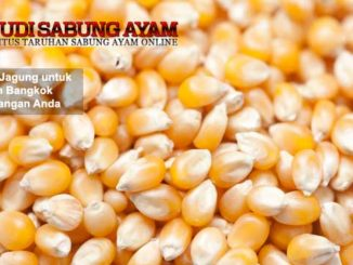 manfaat jagung untuk ayam bangkok kesayangan anda - sabung ayam online