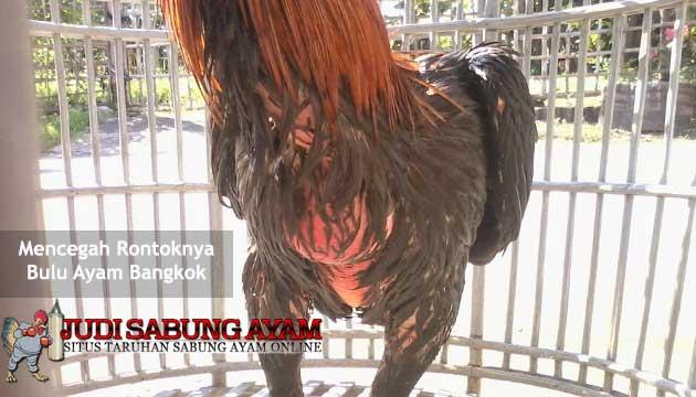 mencegah rontoknya bulu ayam bangkok aduan - sabung ayam online
