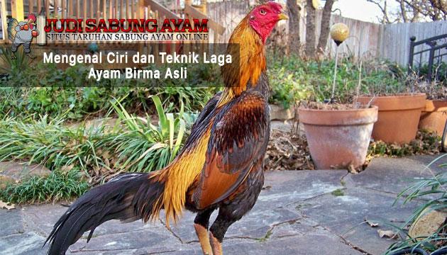 ciri dan teknik laga ayam birma asli - sabung ayam online