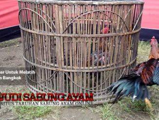 metode kliter untuk melatih ayam bangkok - sabung ayam online