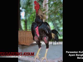 perawatan kulit dan bulu ayam bangkok yang benar - sabung ayam online