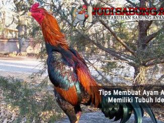 membuat ayam aduan memiliki tubuh ideal - sabung ayam online