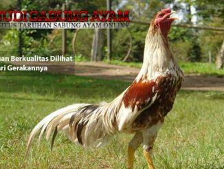 ayam aduan berkualitas dilihat dari gerakannya - sabung ayam online