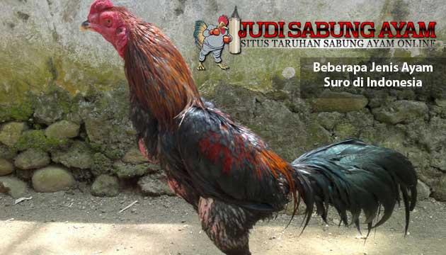beberapa jenis ayam suro - sabung ayam online