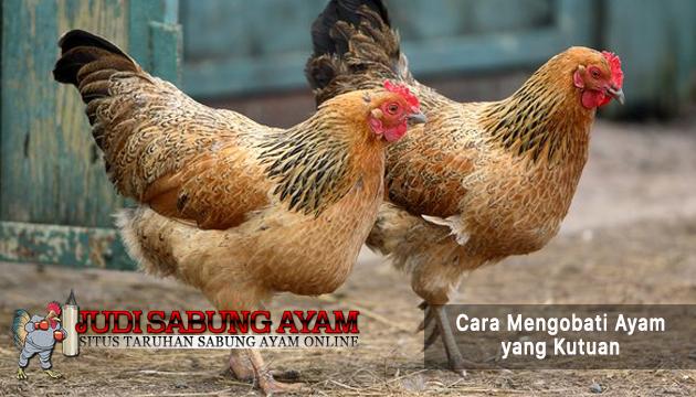 mengobati ayam yang kutuan - sabung ayam online