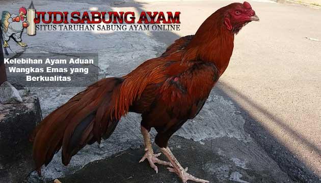 kelebihan ayam aduan wangkas emas yang berkualitas - sabung ayam online