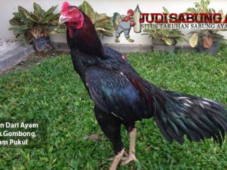 kelebihan dari ayam bangkok gombong - sabung ayam online