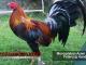 ayam aduan petarung handal - sabung ayam online