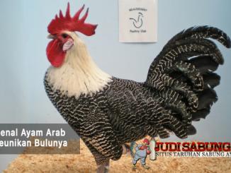 mengenal ayam arab - sabung ayam online
