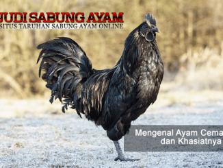 ayam cemani asli - sabung ayam online