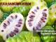 mengkudu untuk suplemen ayam - sabung ayam online