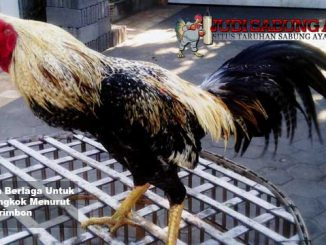 pantangan berlaga untuk ayam bangkok menurut primbon - sabung ayam online
