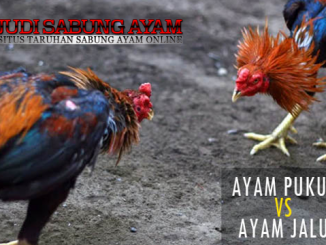 ayam jalu dan ayam pukul - sabung ayam online