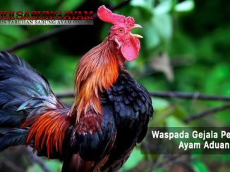 waspada gejala penyakit ayam aduan - sabung ayam online