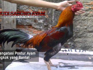 mengatasi postur ayam bangkok yang bantat - sabung ayam online