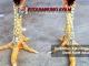 katurangan sisik ubed ayam - sabung ayam online