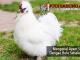 mengenal ayam silkie - sabung ayam online