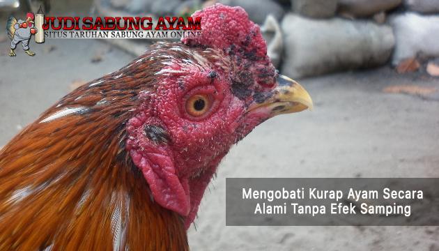 mengobati kurap ayam - sabung ayam online