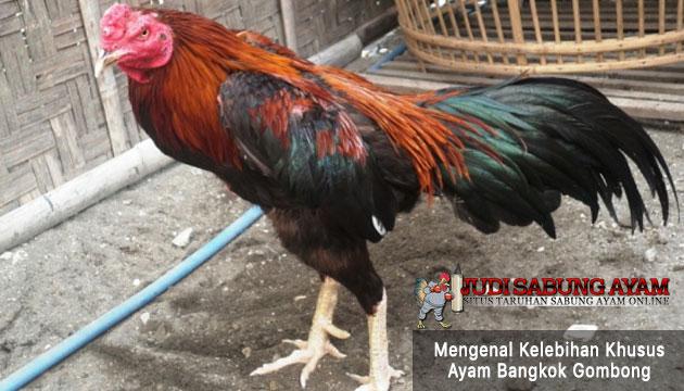 kelebihan khusus ayam bangkok gombong - sabung ayam online