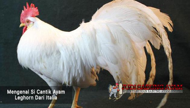 ayam leghorn dari italia - sabung ayam online