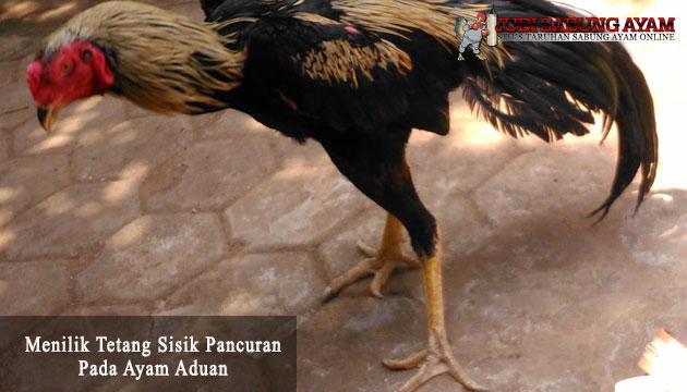 sisik pancuran pada ayam aduan - sabung ayam online