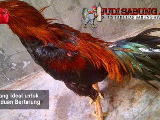 usia yang ideal untuk ayam aduan bertarung - sabung ayam online